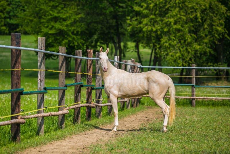 Anseende för vit häst i en paddock på en solig sommardag royaltyfria foton