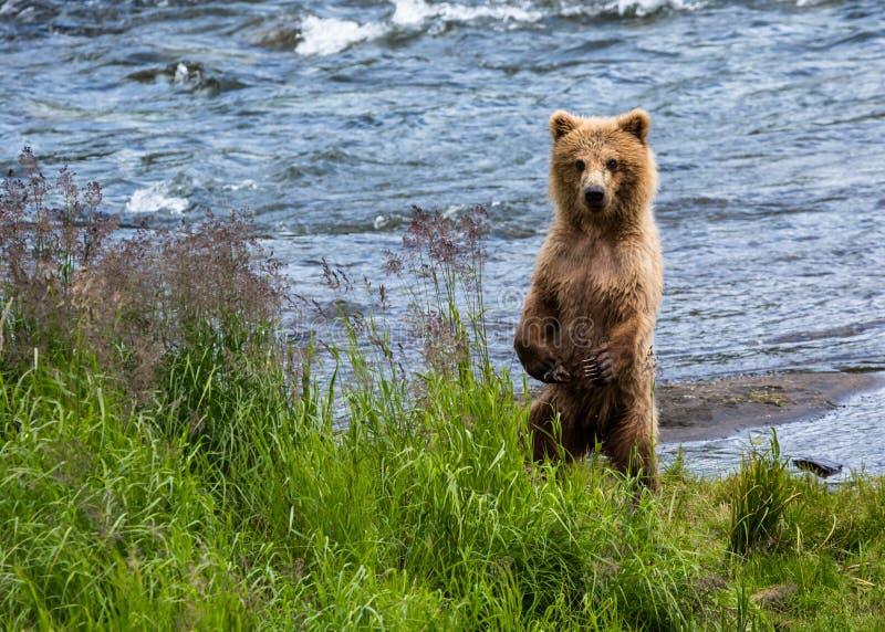 Anseendet för grisslybjörngröngöling på bakre ben near floden arkivbild