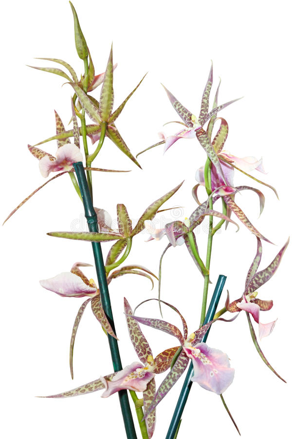 Download Ansellia africana Orchid stock image. Image of natural - 18822167