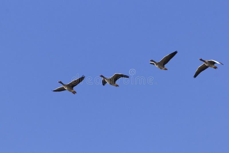 Anser Anser гусыни greylag летания стоковые изображения