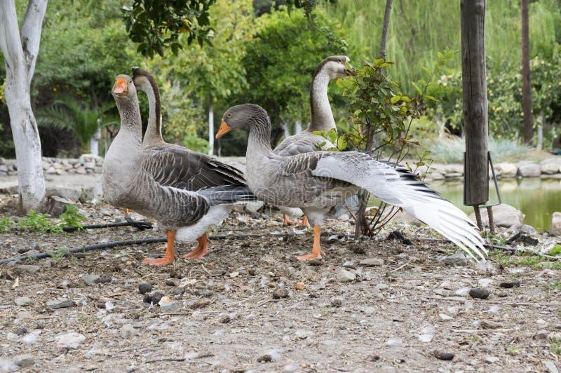 Anser Anserspezies der großen Gans, großer Vogel nannten Graugansgans, Gruppe Gänse stockfoto