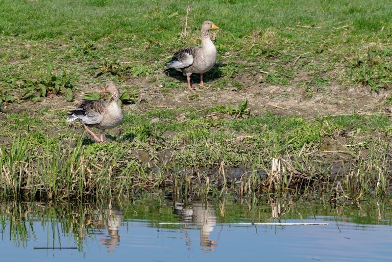 Anser del anser de los gansos de ganso silvestre en la orilla del río en primavera temprana fotos de archivo