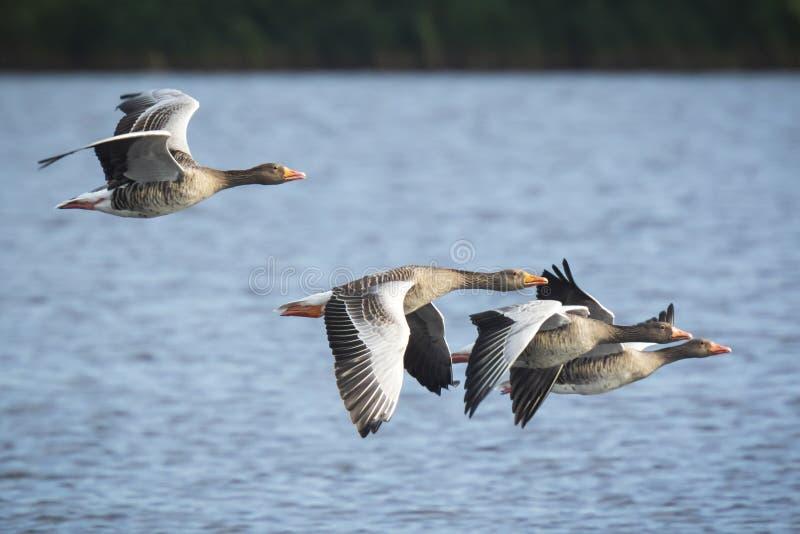Anser del Anser de los gansos de ganso silvestre que emigra en vuelo imagen de archivo libre de regalías