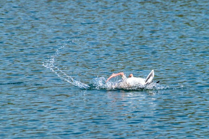 Anser del anser dell'oca selvatica che si pavoneggia e che lava le piume su un lago con il piede palmato nell'aria in primavera fotografia stock libera da diritti