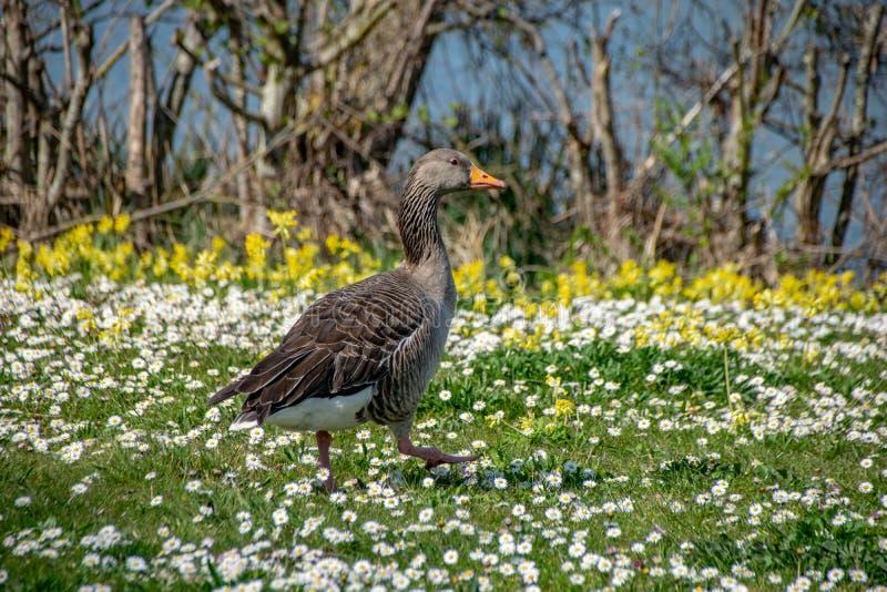 Anser del anser del ganso de ganso silvestre que camina entre las flores salvajes de la margarita del tiempo de primavera foto de archivo libre de regalías
