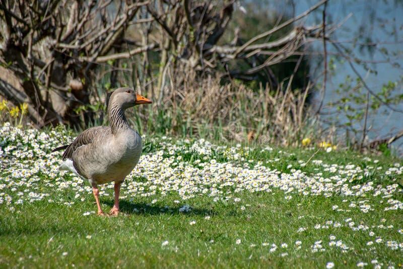 Anser del anser del ganso de ganso silvestre que camina entre las flores salvajes de la margarita del tiempo de primavera fotos de archivo libres de regalías