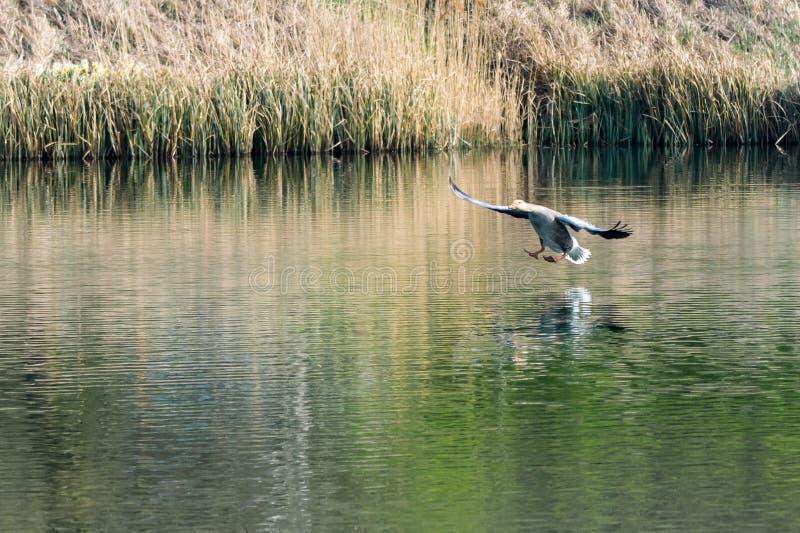 Anser del anser del ganso de ganso silvestre que entra en la tierra en el agua con los pies reticulados extendidos imagen de archivo