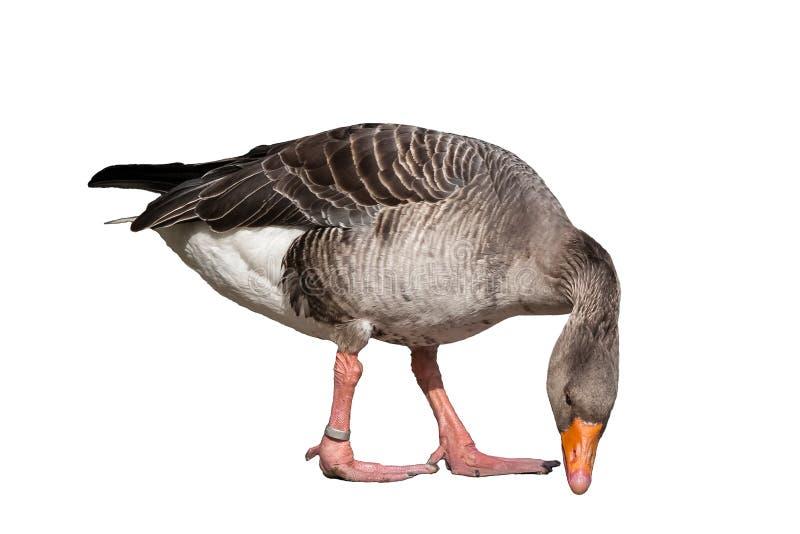 Anser del Anser - ganso gris aislado en el fondo blanco imagen de archivo