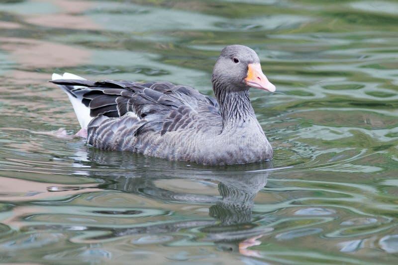 Anser do Anser, ganso de pato bravo europeu fotos de stock royalty free