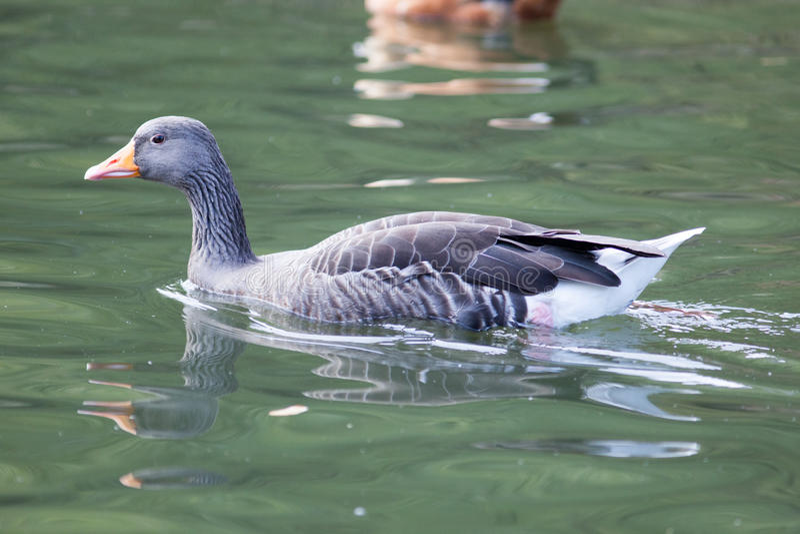 Anser do Anser, ganso de pato bravo europeu fotos de stock