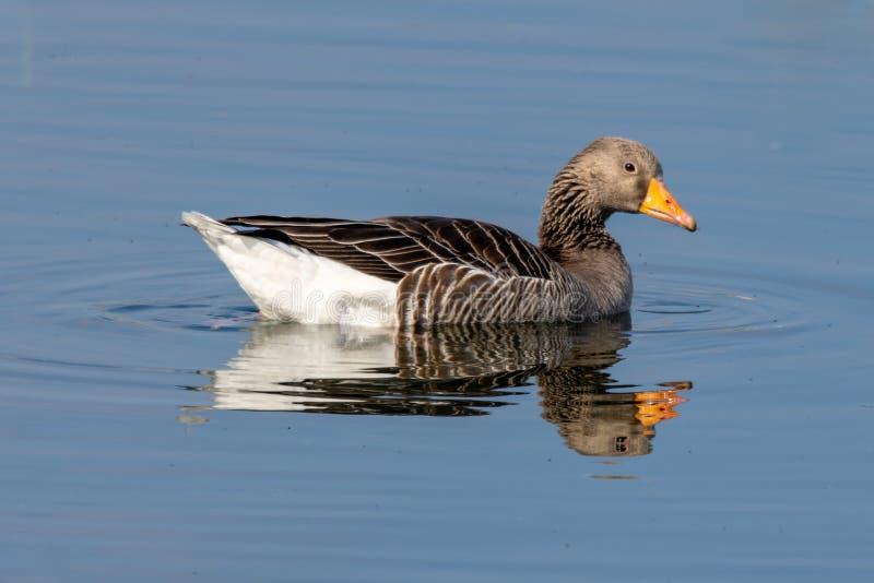 Anser do anser do ganso de pato bravo europeu no lago imóvel com reflexão imagens de stock