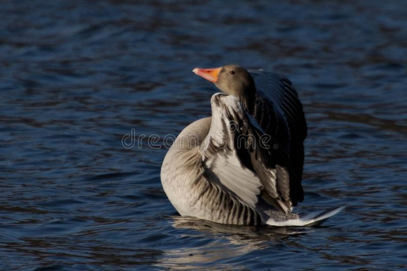 Anser anser, Greylag goose wild water bird stock photography