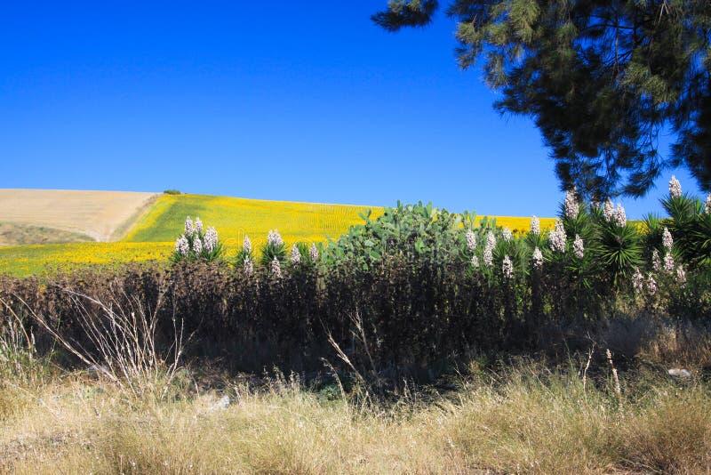 Ansicht über Anlagen auf Hügel mit dem Glänzen von hellen Sonnenblumen gegen tiefen blauen Himmel - Andalusien, Spanien stockfotos