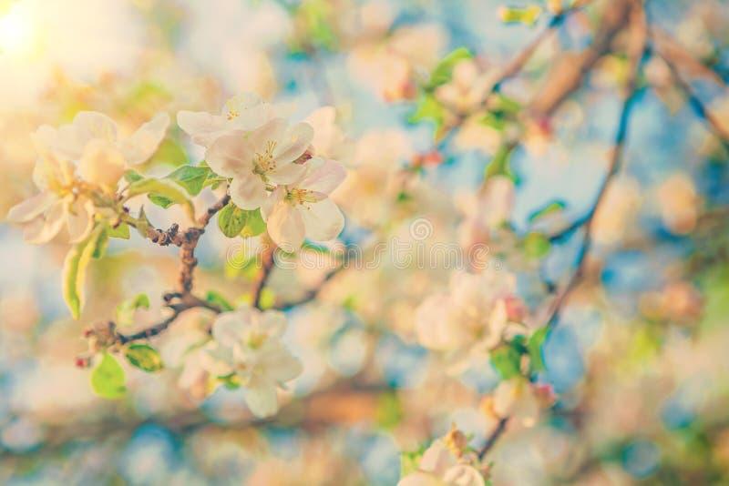 Ansicht über blühende flovers von Apfelbaum instagram Farben stockfoto