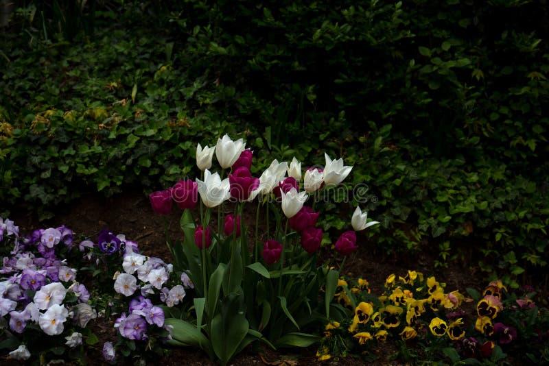 Ansicht über bunte Tulpen im Park des Schlosses im bingen sind in Hessen Deutschland hauptsächlich lizenzfreie stockbilder
