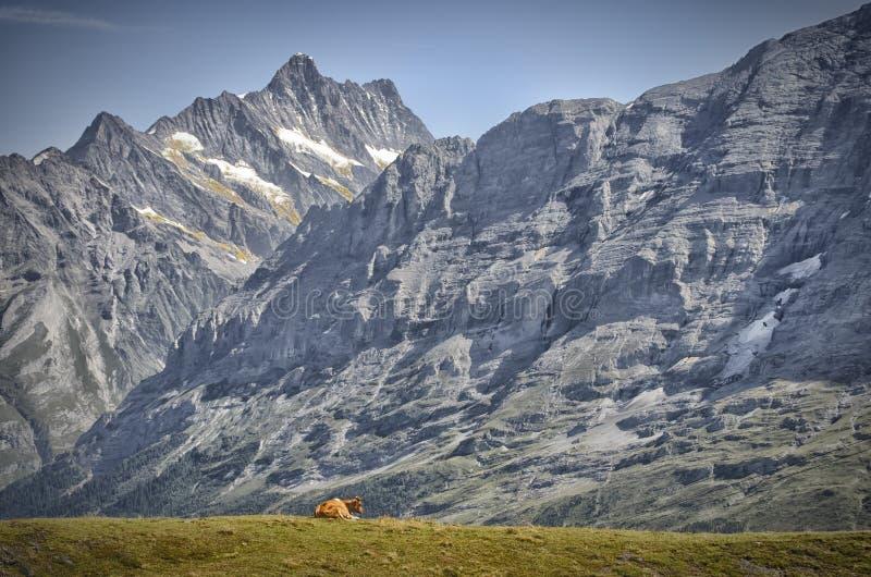 Ansicht über Eiger mit Kuh stockfoto