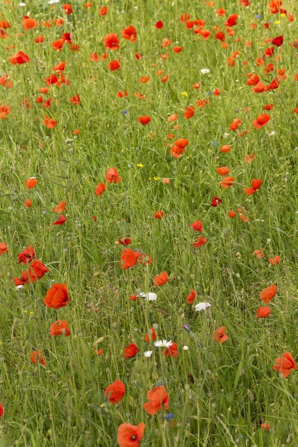 Ansicht über einen Straßenrand, der mit zahlreichen wilden wunderbaren Blumen bedeckt wurde, nannte rote Mohnblumen stockbild
