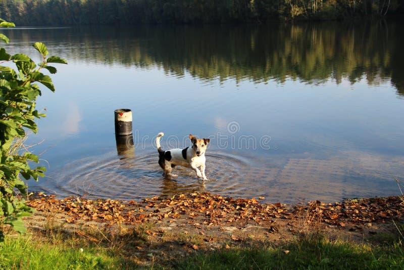 Ansicht über einen Tri Farbsteckfassungs-Russell-Terrier, der in den See in läuft, emsland Deutschland in multi meppen gefärbt stockfotografie