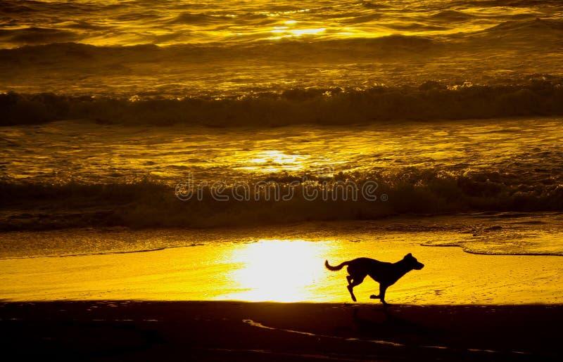 Ansicht über Schattenbild des laufenden Hundes entlang Wasser auf Strand mit goldenem gelbem glühendem Hintergrund während des So stockfotos