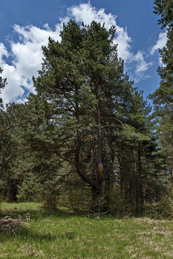Ansicht der Frühjahrnatur mit grüner Lichtung, laubwechselnd Wald und Straße lizenzfreie stockbilder