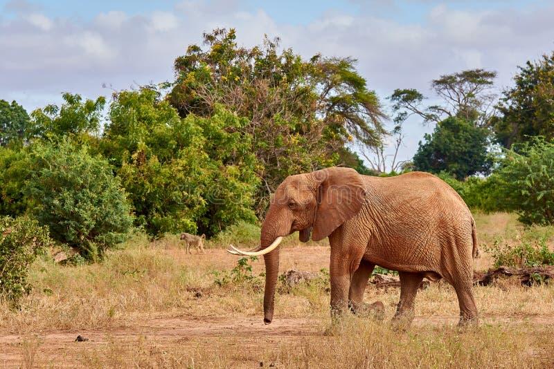 Ansicht der Savanne des afrikanischen Elefanten geht auf Safari in Kenia, mit unscharfen Bäumen und Affen stockbild