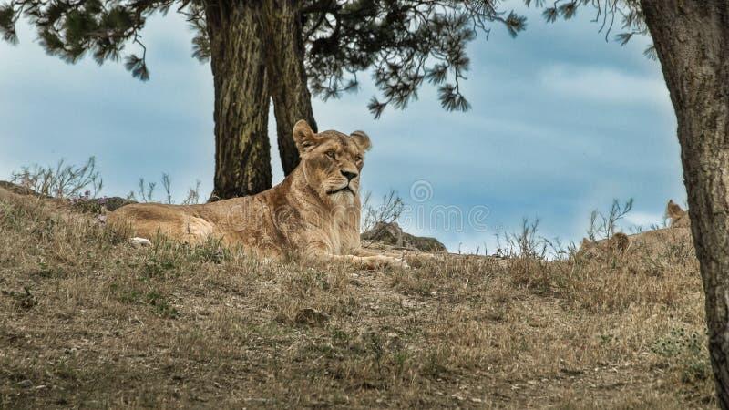 Ansicht des entspannten weiblichen Löwes lizenzfreie stockfotos