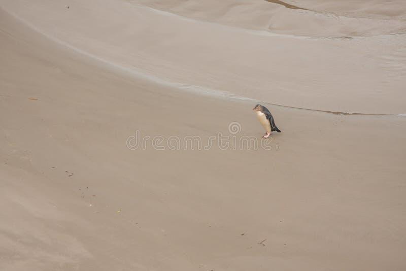 Ansicht des Gelbs musterte Pinguin auf dem Neuseeland-Strand lizenzfreie stockfotografie