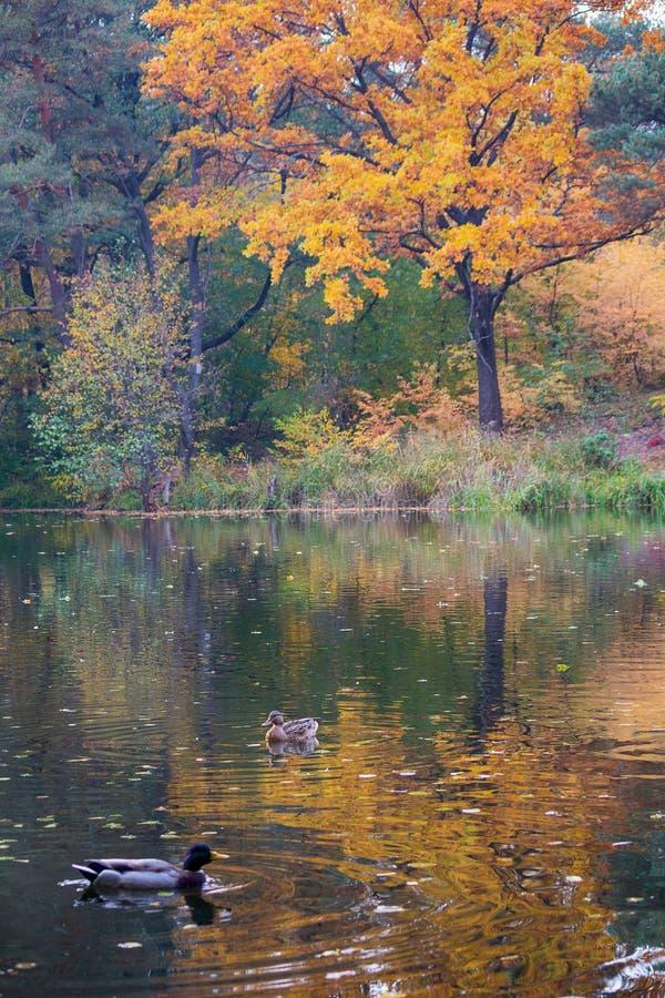 Ansicht des Herbstsees mit Enten stockbilder