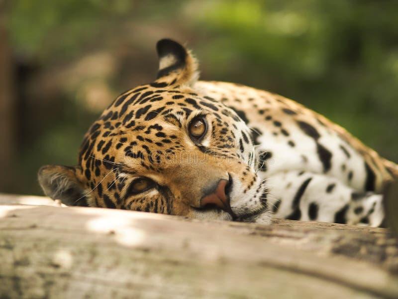 Ansicht des Leoparden lizenzfreie stockfotos