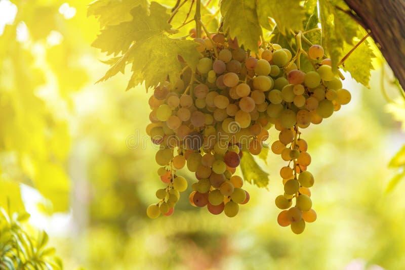 Ansicht des Weinbergs mit reifen Trauben bei Sonnenuntergang lizenzfreies stockbild