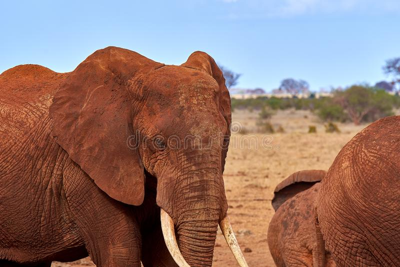 Ansicht einiger afrikanischer Elefanten in der Savanne auf Safari in Kenia, Nationalpark Tsavo lizenzfreie stockfotos