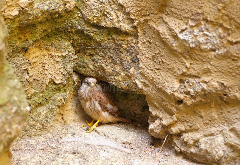 Ansicht Junge des Falken stockfotos
