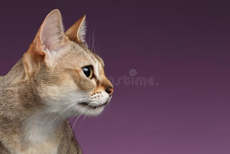 Ansicht Nahaufnahme Singapura Cat Profile über Purpur stockfoto