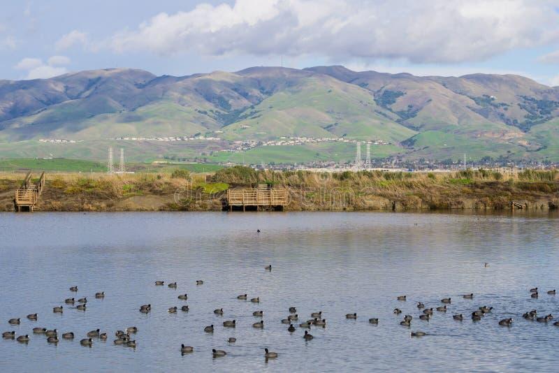Ansicht in Richtung zur Monument-Spitze; Blässhühner, die auf einem Salzteich schwimmen; Don Edwards Wildlife Refuge, Süden San F stockfotografie