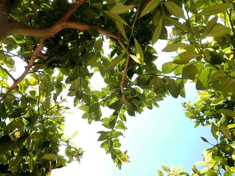 Ansicht unter Zitronenbaum lizenzfreie stockfotografie