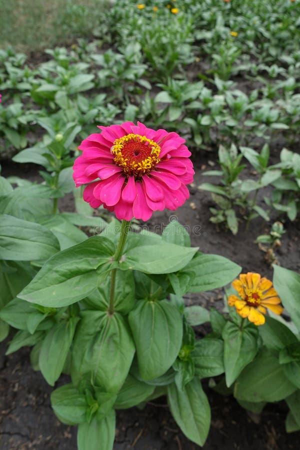 Ansicht in voller Länge von Zinnia mit magentarot-farbiger Blume lizenzfreies stockfoto