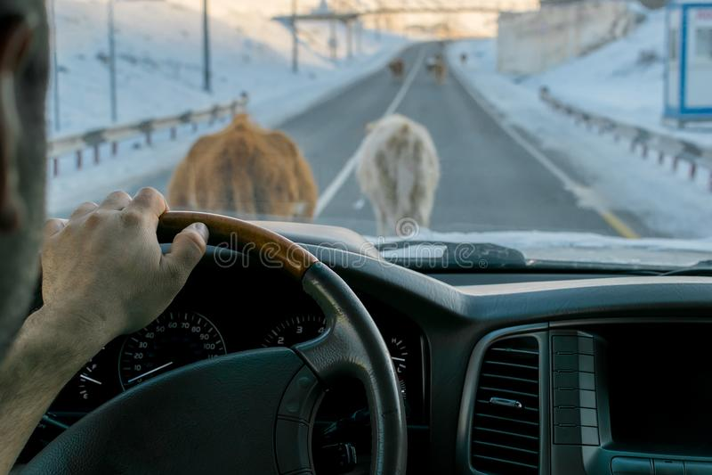 Ansicht vom Auto auf der Straße, die durch die Kühe blockiert wird, die auf es gehen lizenzfreies stockfoto