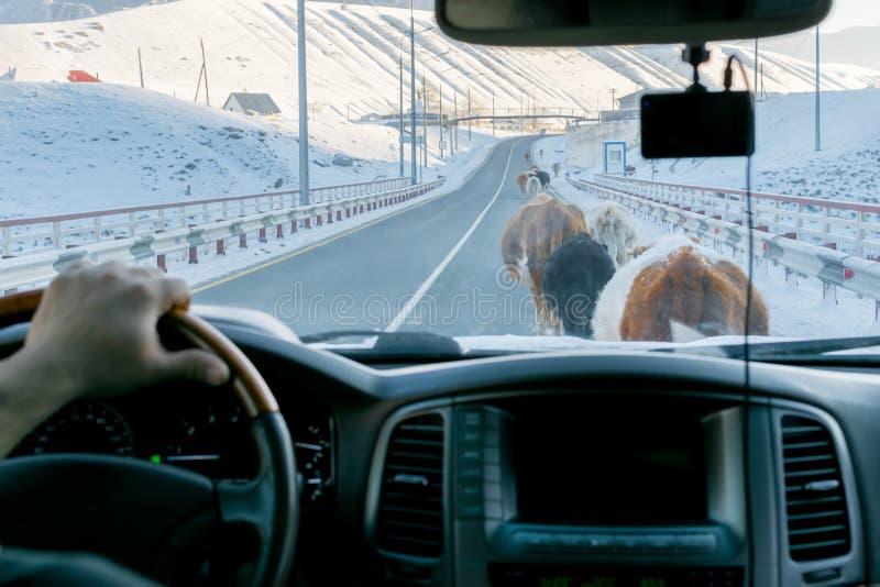 Ansicht vom Auto auf der Straße, die durch die Kühe blockiert wird, die auf es gehen lizenzfreie stockfotografie