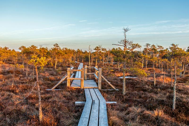 Ansicht vom Gehen der hölzernen Spur im Sumpf im großen Sumpfheidemoor Kemeri am sonnigen Wintertag mit blauem Himmel, Lettland,  lizenzfreie stockbilder