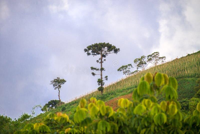 Ansicht von Berglandschaft mit Araukarienbaum stockbild
