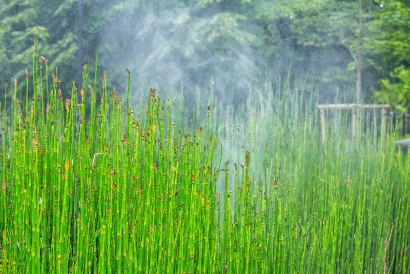 Ansicht von Equisetum hyemale Anlage, die bewässert wird stockbilder