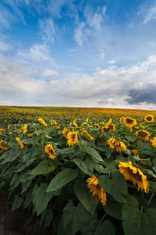Ansicht von Feldsonnenblumen mit dem blauen Himmel stockfoto