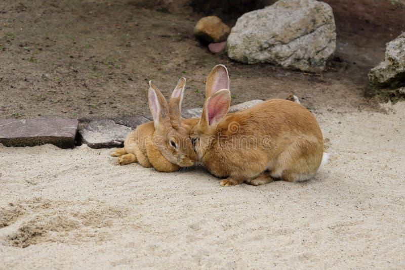 Ansicht von inl?ndischen braunen fl?mischen riesigen Kaninchen der Paare lizenzfreies stockfoto