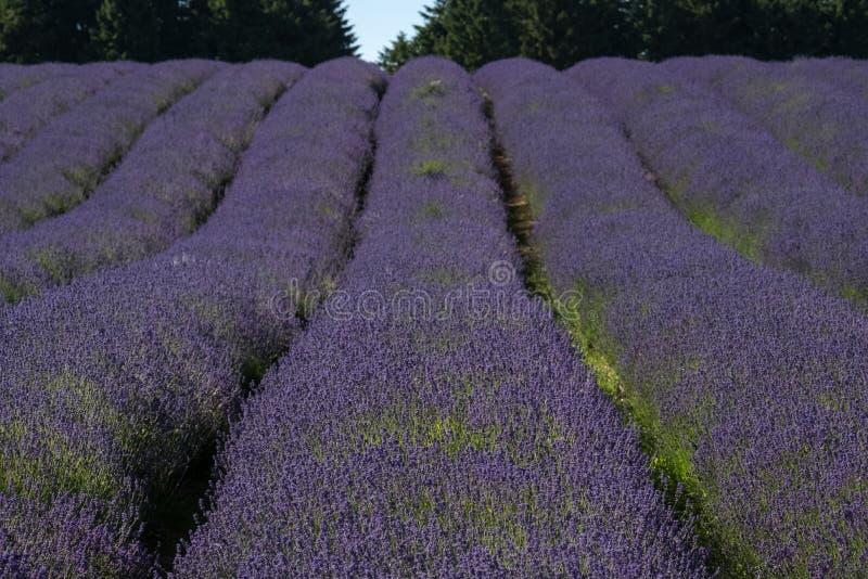 Ansicht von Reihen des Lavendelfeldes auf einem Blumenbauernhof im Cotswolds, Worcestershire Großbritannien lizenzfreie stockbilder