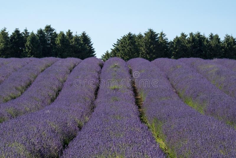 Ansicht von Reihen des Lavendels auf einem Gebiet auf einem Blumenbauernhof im Cotswolds, Worcestershire Großbritannien lizenzfreie stockfotos