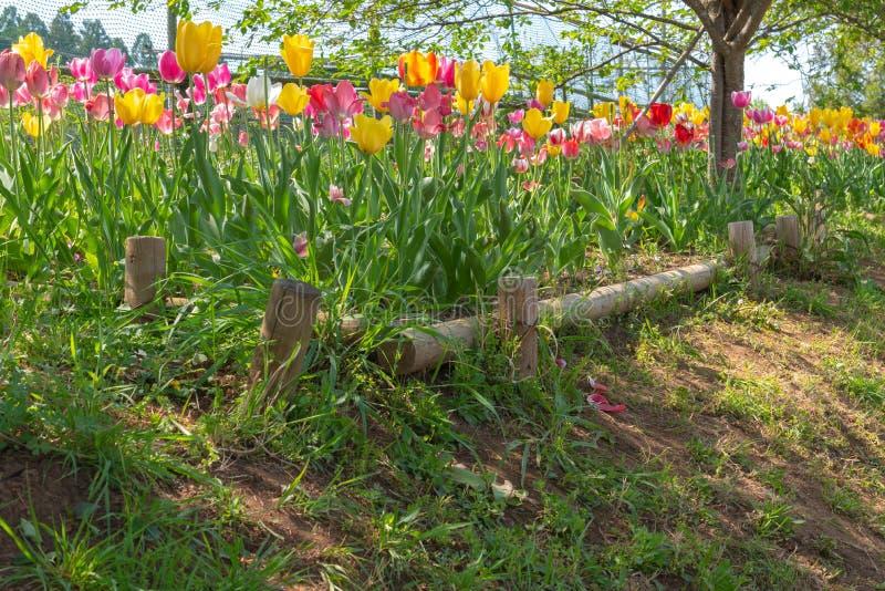 Ansicht von schönen Tulpen fangen Mehrfarben im Garten auf stockbilder