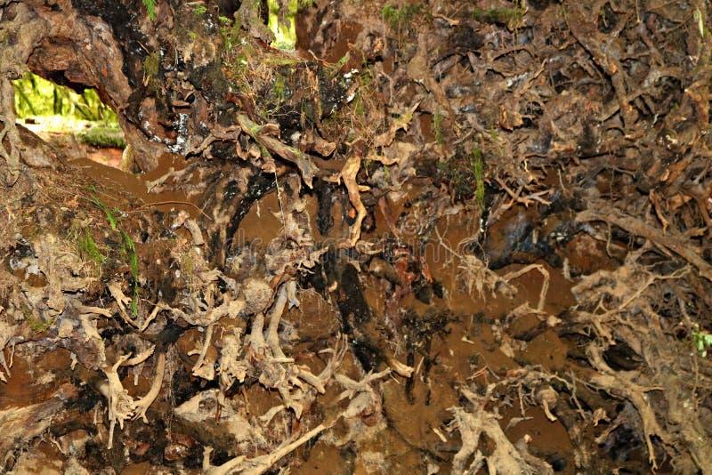 Ansicht von unten des Wurzelwerks des großen gefallenen Baums stockfotos
