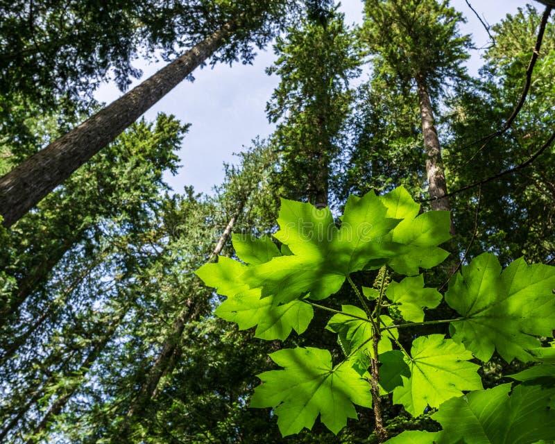 Ansicht von unten von hohen alten Bäumen im Wald des blauen Himmels provinziellen Parks Garibaldi im Hintergrund lizenzfreie stockfotos