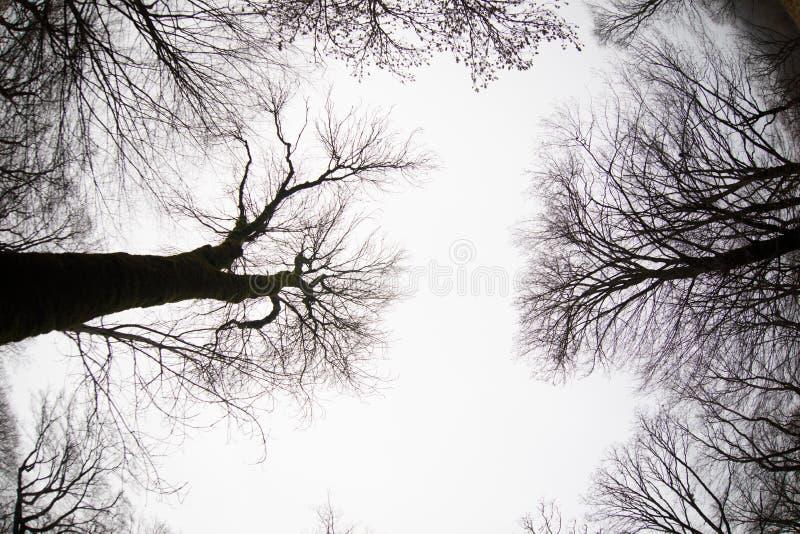 Ansicht von unten von hohen alten Bäumen im Winterwaldblauen Himmel im Hintergrund azerbaijan lizenzfreies stockfoto