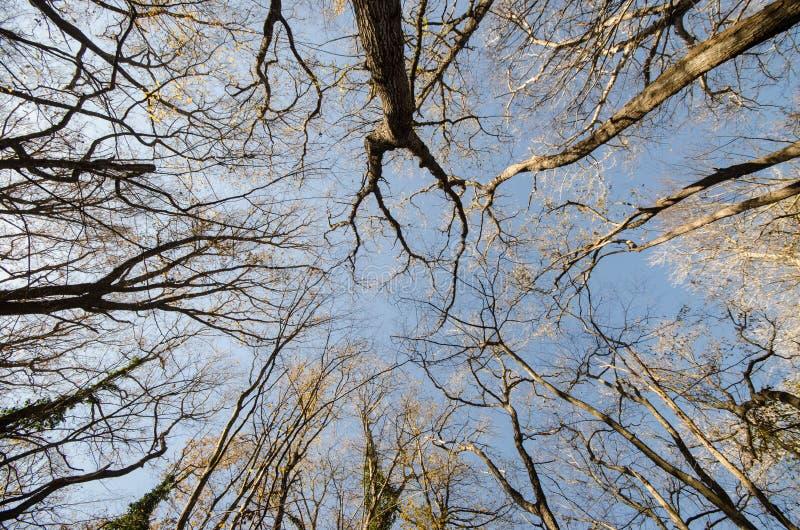 Ansicht von unten von hohen alten Bäumen im Winterwaldblauen Himmel im Hintergrund azerbaijan lizenzfreie stockfotografie